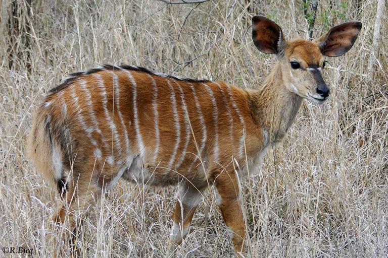 Tiefland-Nyala - Tragelaphus angasii - Weibchen und Jungtiere leben in kleinen Herden