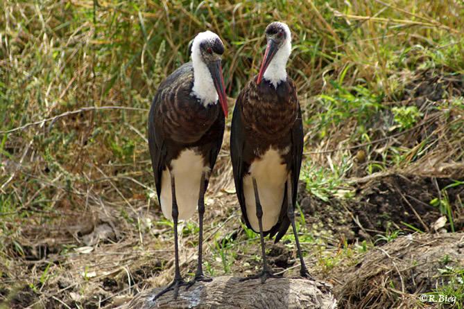 Wollhalsstorch - Ciconia episcopus microscelis - ein ca. 90cm großer Storchenvogel