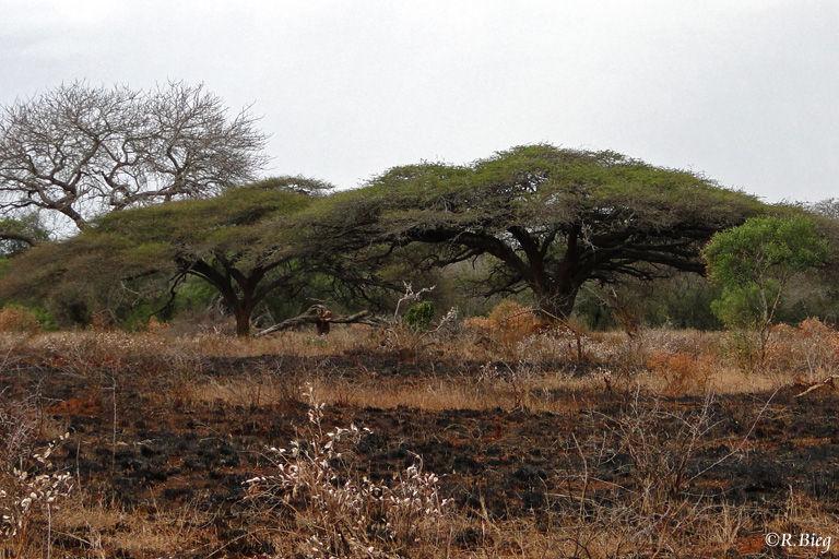 Schirmakazien im Game Reserve