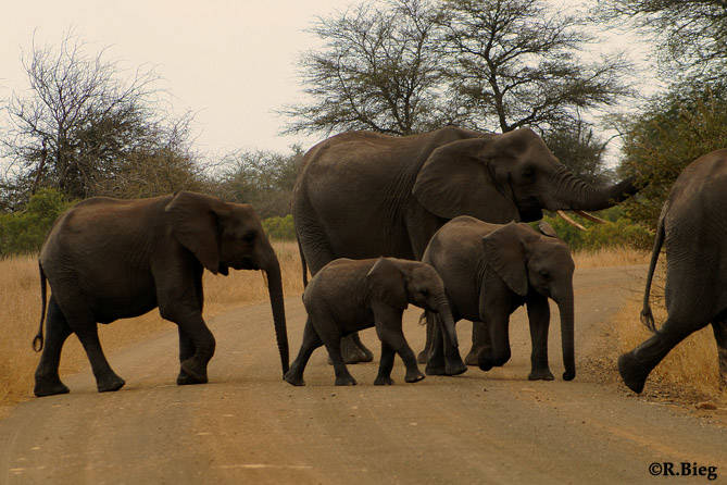 Afrikanischer Elefant - Loxodonta africana - Die Jungtiere werden stets in die Mitte genommen