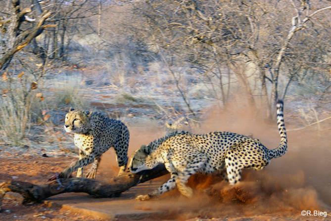 Die Geparden kommen pünktlich zur Fütterungszeit angerast