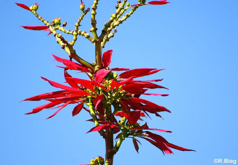 Euphorbia pulcherrima - sie werden in ihrer Heimat riesengroß