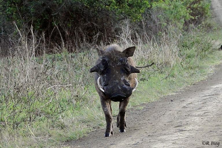 Warzenschwein - Phacochoerus aethiopicus
