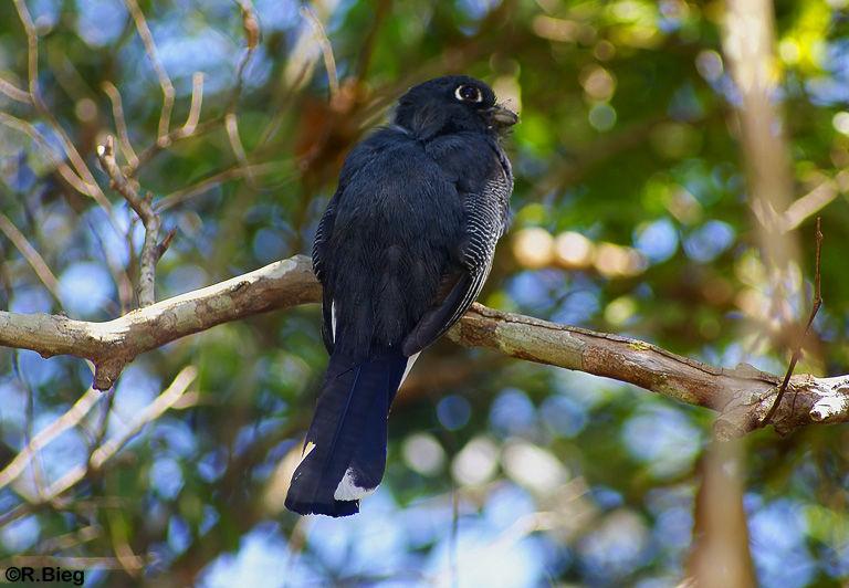 Trogon surrucura -nicht leicht zu entdecken, da sich die Vögel sehr leise verhalten