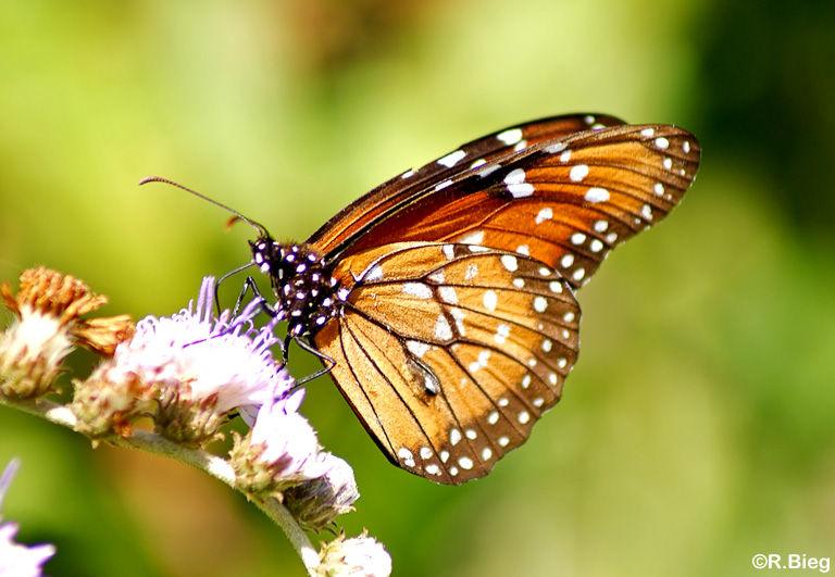 Danaus spec. - ein Monarch