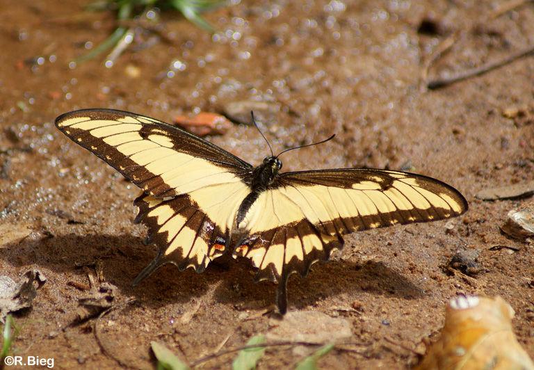 Heraclides astyalus atyalus - auch er saugt Feuchtigkeit und Mineralien am Boden
