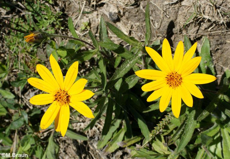 Aspilia pascalioides - Asteraceae
