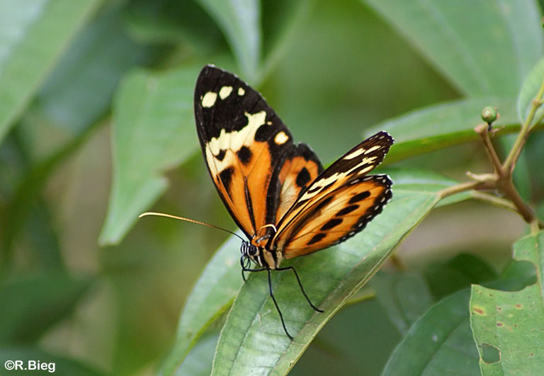 Heliconidae