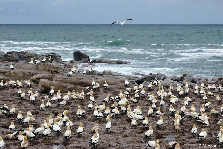 Die Tölpelkolonie auf Bird Island