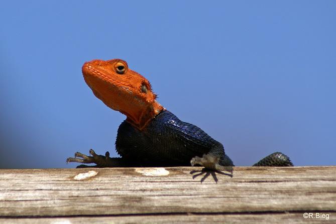 Agama planiceps - die Männchen haben einen orangefarbenen Kopf