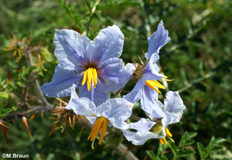 Solanum - ein Nachtschattengewächs