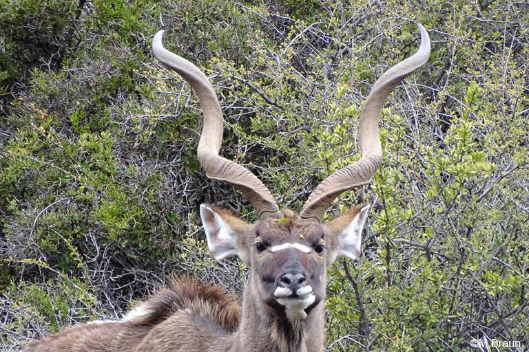 Großer Kudu - Tragelaphus strepsiceros - Männchen