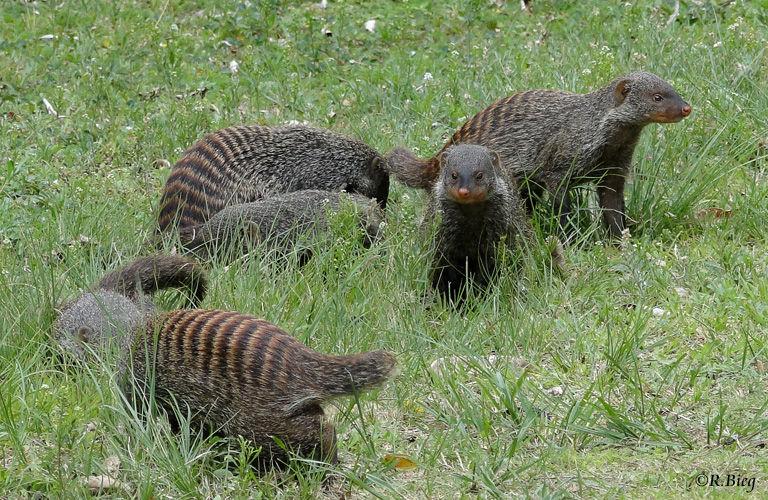 Zebramanguste - Mungo mungo - putzige Tiere, die man ewig beobachten könnte