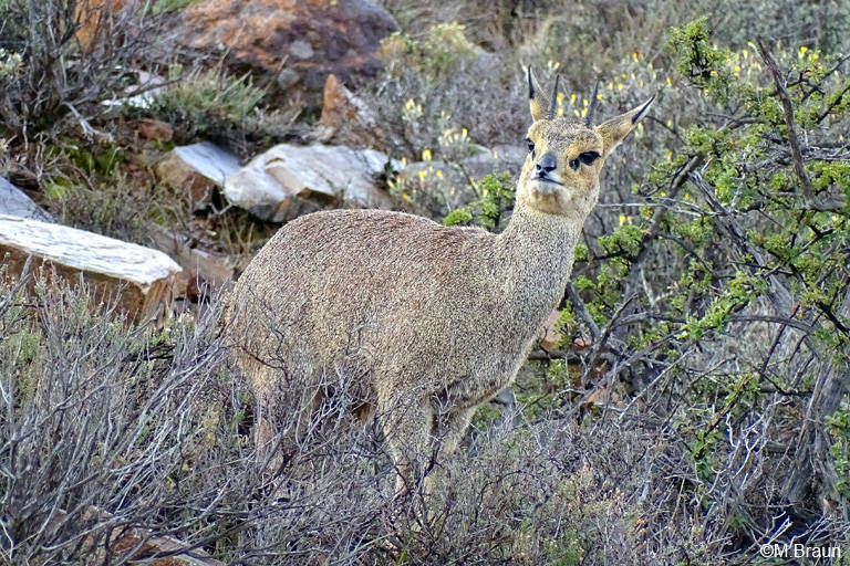 Klippspringer - Oreotragus oreotragus - sie leben in dem felsigen Gelände am Klippspringer Pass