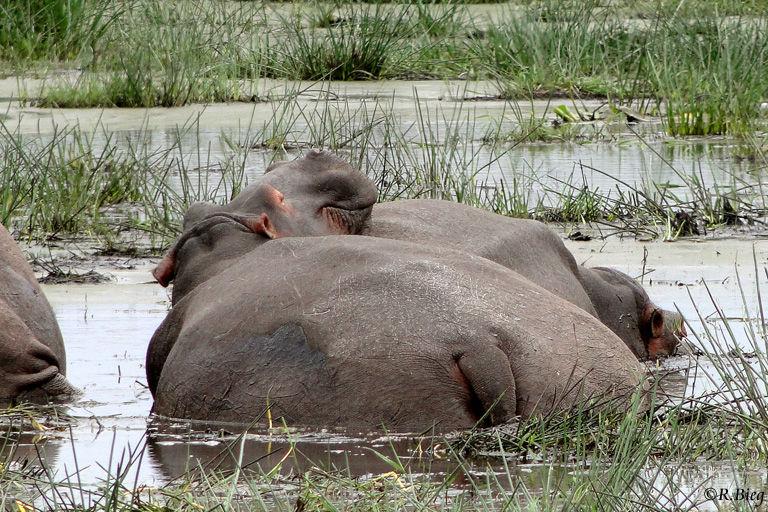 Hippopotamus amphibius - gemütliches Ruhestündchen