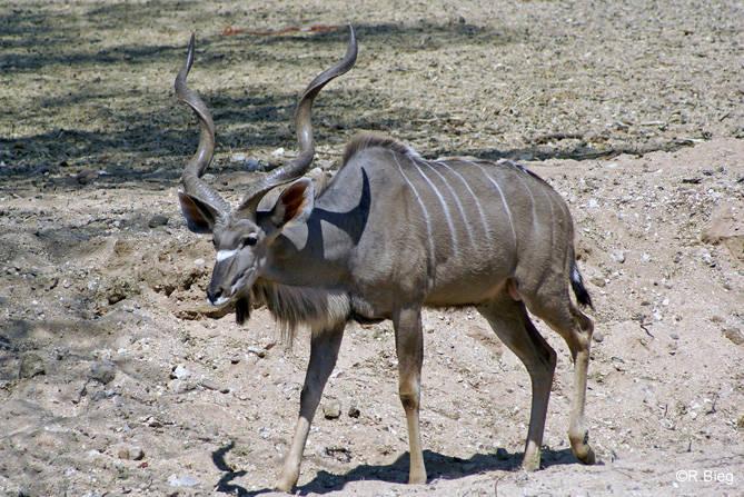 Kudu - die Männchen haben gewaltige Hörner