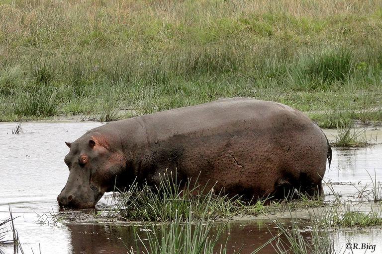 Flußpferd im seichten Hippo Pool - Hippopotamus amphibius