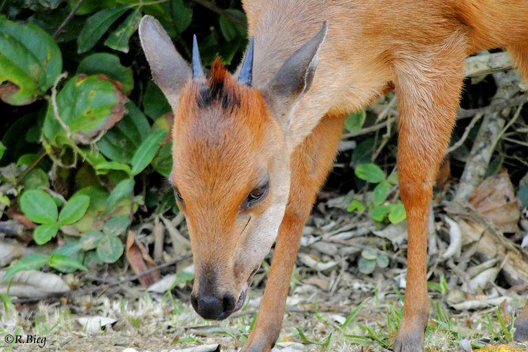 Rotducker - die Tiere ernähren sich von Blättern, Früchten und Blüten