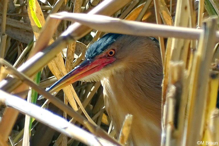 Zwergdommel - Ixobrychus minutus - sehr versteckt am Bird Hide