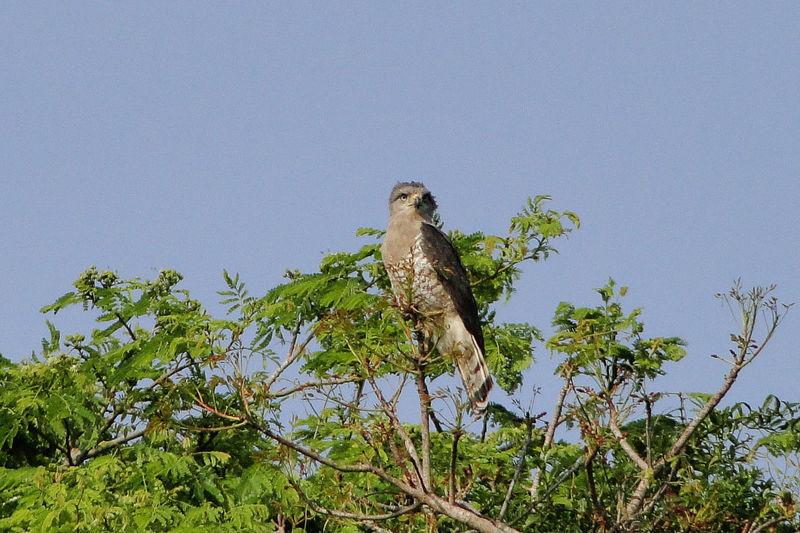 Graubrust-Schlangenadler - Circaetus fasciolatus