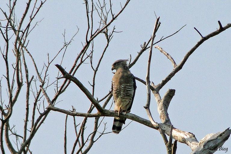 Graubrust-Schlangenadler - Circaetus fasciolatus - er gehört zur Familie der Habichtartigen