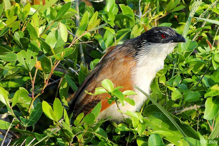 Weißbrauenkuckuck - Centropus superciliosus
