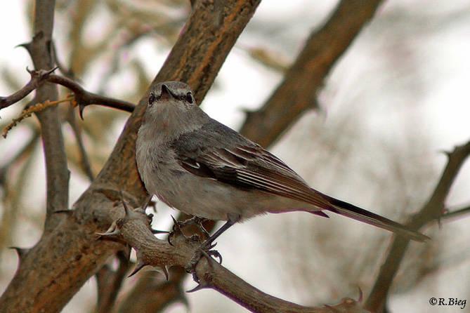 Strichelkopfschnäpper - Bradornis pallidus