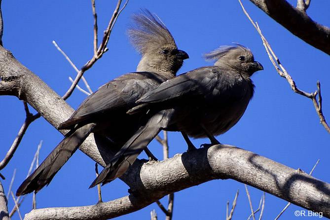 Graulärmvogel - Corythaixoides concolor