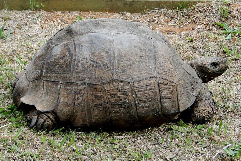 Pantherschildkröte im Thomas Baines Reserve - Stigmochelys pardalis