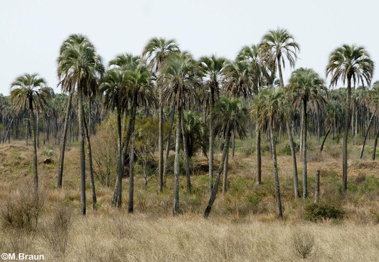 Die Yatai-Palme - zu ihrem Schutz wurde der Nationalpark eingerichtet