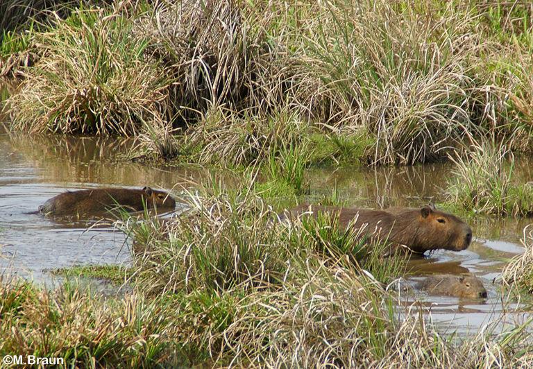Capybara - Wasserschwein
