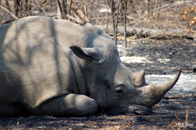 Ceratotherium simum - die Büffel können 2,5 t schwer werden