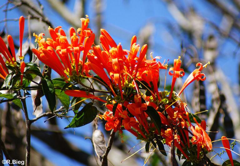 Campsis - Familie Bignoniaceae - Feuerranke