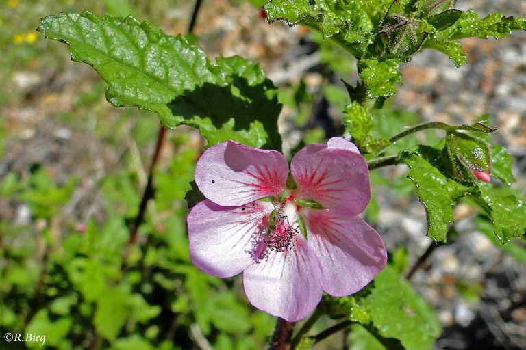 Hibiscus sp. in Natures Valley