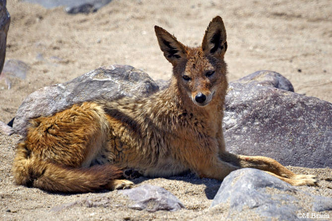 Schabrackenschakal - Canis mesomelas