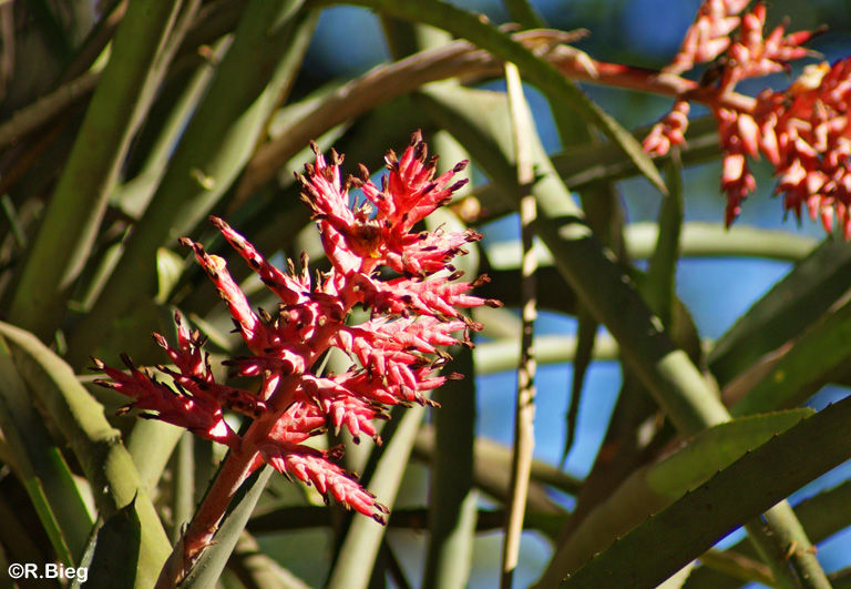 Aechmea - Bromeliaceae