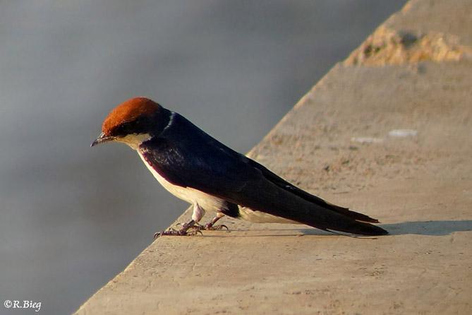 Rotkappenschwalbe - Hirundo smithii