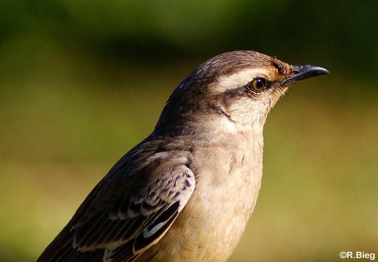 Mimus saturninus modulator - die Vögel waren sehr angriffslustig und flogen ständig auf meinen Kopf zu