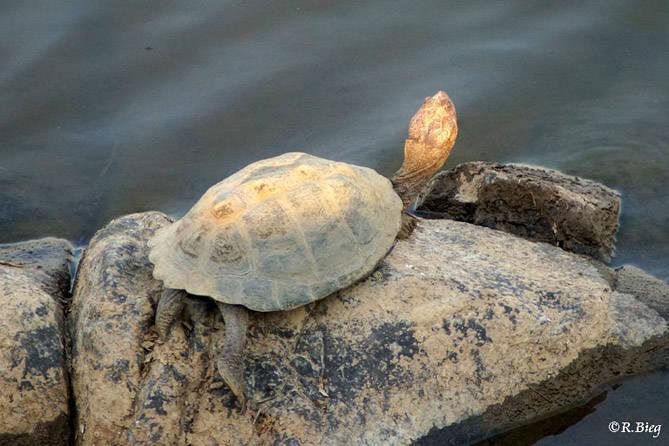 Schildkröte unbest.