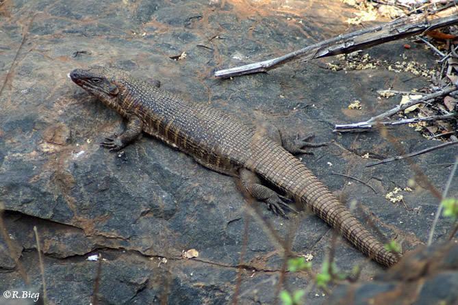 Felsen-Schildechse - Gerrhosaurus validus