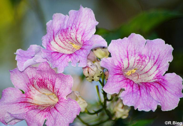Clytostoma spec. -Bignoniaceae