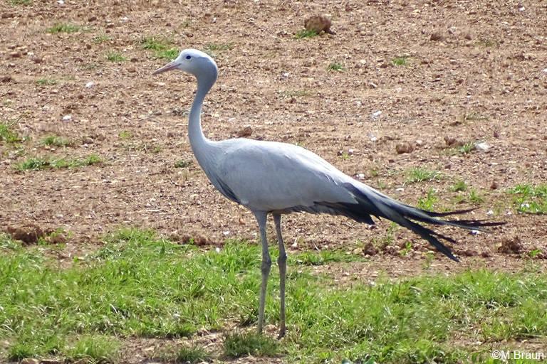 Paradieskranich - der Nationalvogel Südafrikas