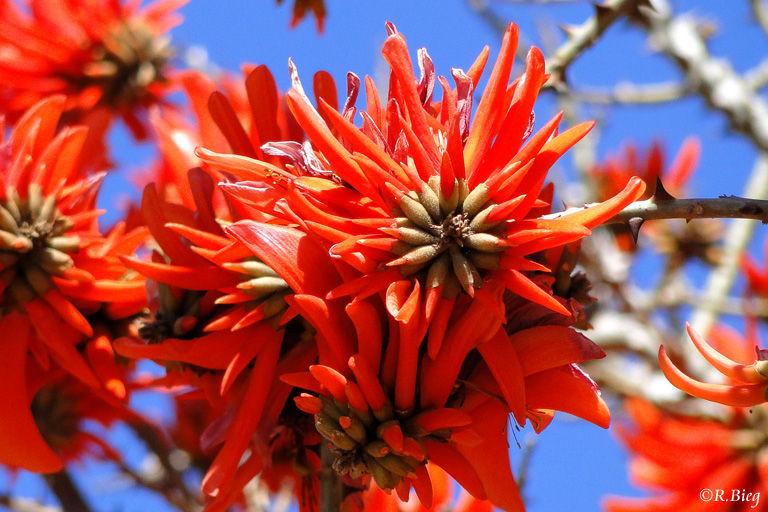 Erythrina latissima - ein Korallenbaum