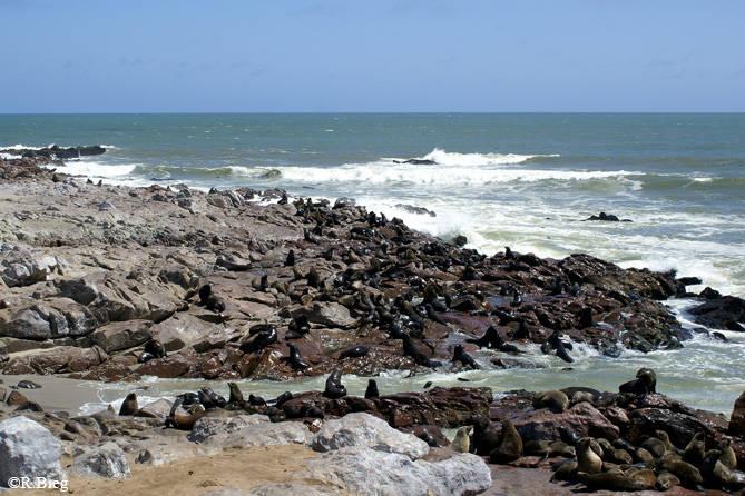 Hochbetrieb-und man sieht nur einen kleinen Teil der riesigen Robbenkolonie