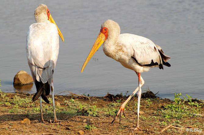 Afrikanischer Nimmersatt - Mycteria ibis - er gehört zur Familie der Störche