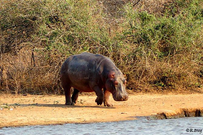 Nilpferd - Hippopotamus amphibius -bei Lower Sabie