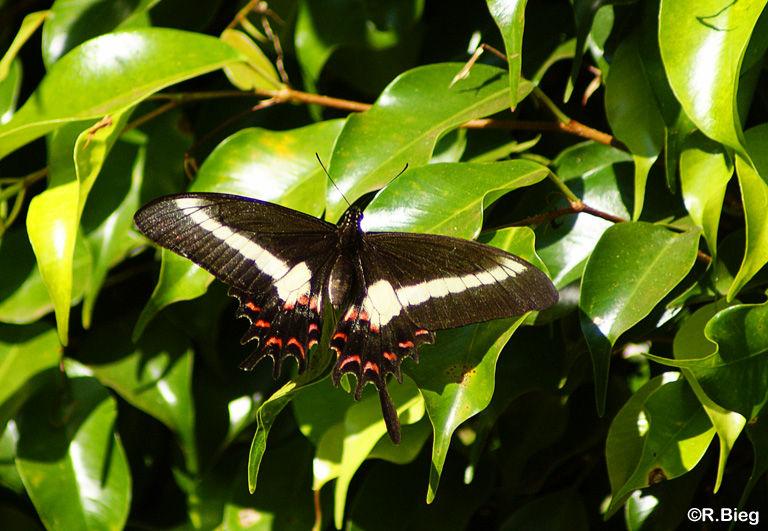 Parides spec. - Papilionidae
