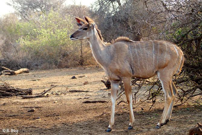 Grosser Kudu - Strepsiceros strepsiceros - Weibchen
