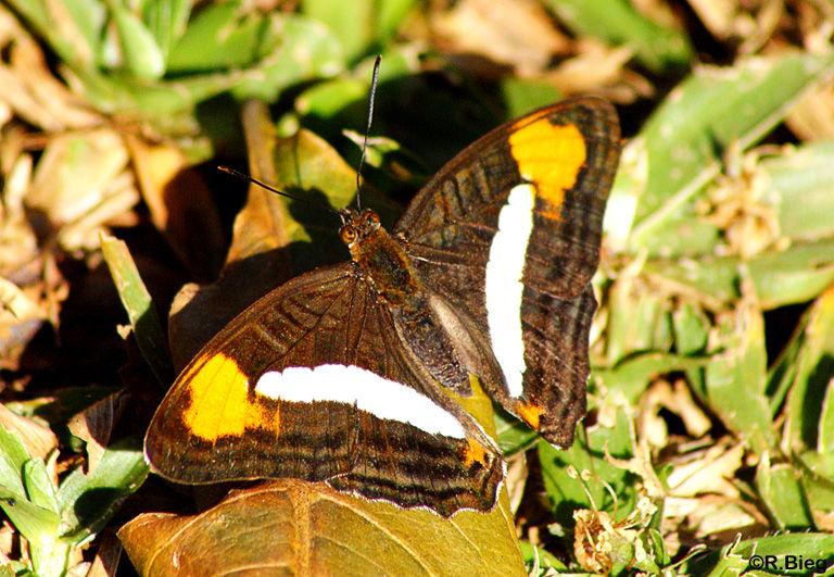 Adelpha abia - Nymphalidae