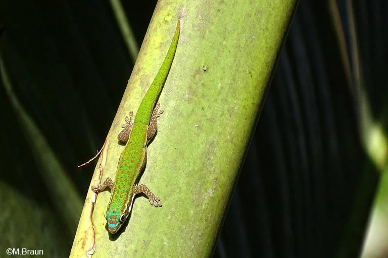 Phelsuma cepediana, Weibchen